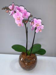 Mini Orquídea Pink no vaso